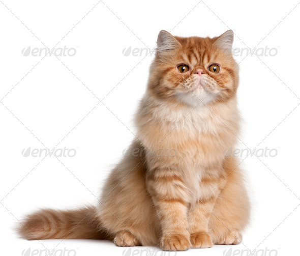 Persian cat, 5 months old, sitting in front of white background - Stock Photo - Images