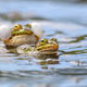 Common frogs pairing in a pond in spring period - PhotoDune Item for Sale