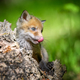 Red fox, vulpes vulpes, small young cub on stump - PhotoDune Item for Sale