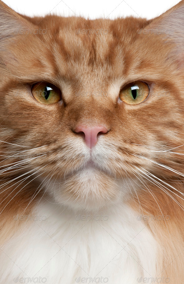 Close-up of a Maine Coon, 2 years old - Stock Photo - Images