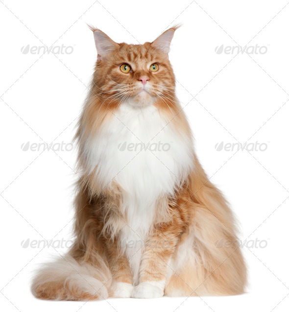 Maine Coon, 2 years old, sitting in front of white background - Stock Photo - Images