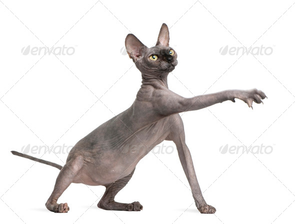 Sphynx cat reaching, 9 months old, in front of white background - Stock Photo - Images