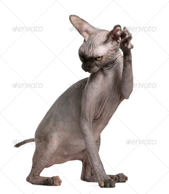 Sphynx cat with paw up, 9 months old, in front of white background - Stock Photo - Images