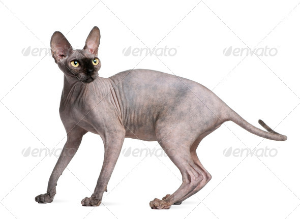 Sphynx cat, 9 months old, standing in front of white background - Stock Photo - Images