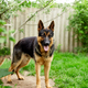 German shepherd stabding on the grass in the park. - PhotoDune Item for Sale