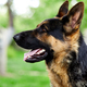 German shepherd lying on the grass in the park. - PhotoDune Item for Sale