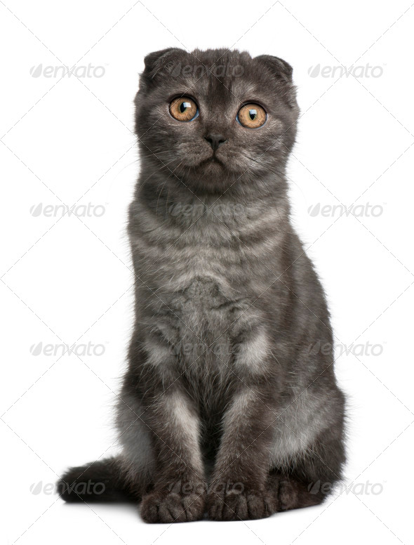 Scottish Fold Kitten, 3 months old, sitting in front of white background - Stock Photo - Images
