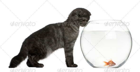 Scottish Fold Kitten, 3 months old, looking in goldfish bowl in front of white background - Stock Photo - Images