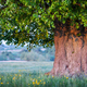 Old linden tree on summer meadow - PhotoDune Item for Sale