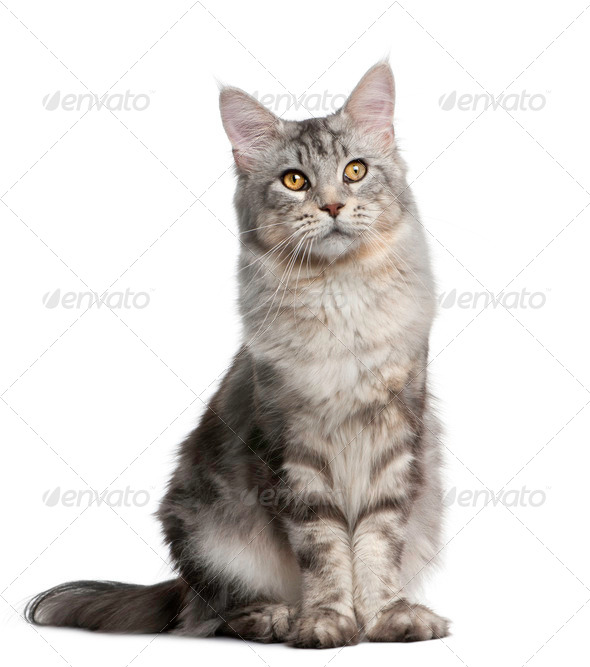 Maine Coon, 13 months old, standing in front of white background - Stock Photo - Images