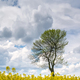 Tree among rapeseed field - PhotoDune Item for Sale