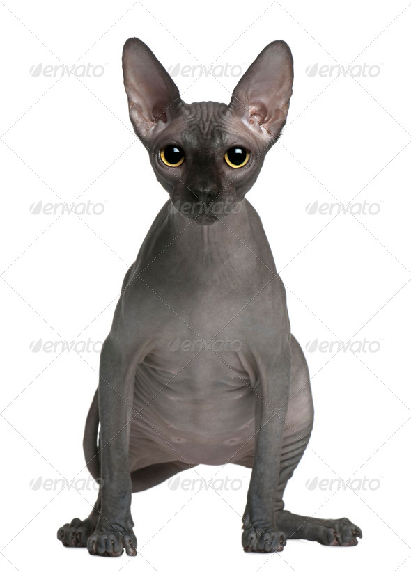 Sphynx cat, 14 months old, standing in front of white background - Stock Photo - Images