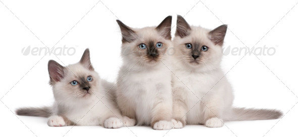 Birman Kittens, 2 months old, in front of white background - Stock Photo - Images