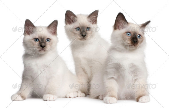 Birman Kittens, 2 months old, sitting in front of white background - Stock Photo - Images