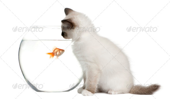 Birman Kitten, 2 months old, looking in goldfish bowl in front of white background - Stock Photo - Images