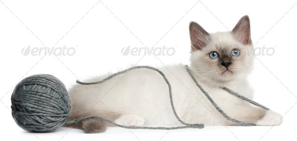 Birman Kitten, 2 months old, playing with a ball of yarn in front of white background - Stock Photo - Images