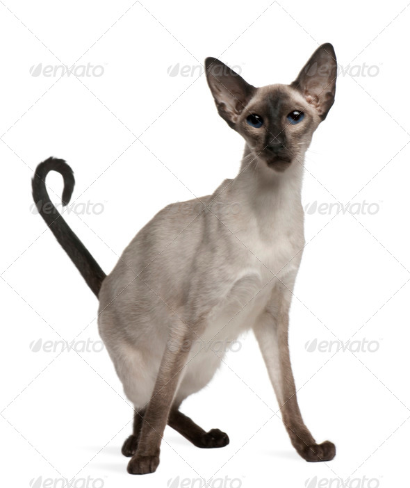 Balinese cat, 5 years old, sitting in front of white background - Stock Photo - Images