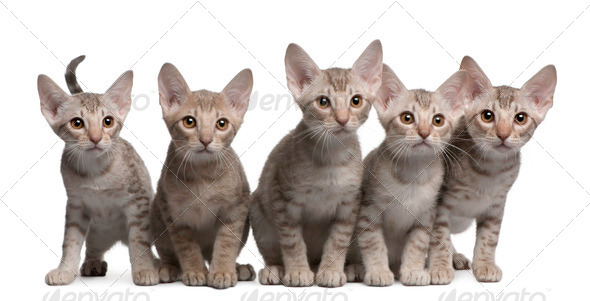 Ocicat kittens, 13 weeks old, sitting in front of white background - Stock Photo - Images