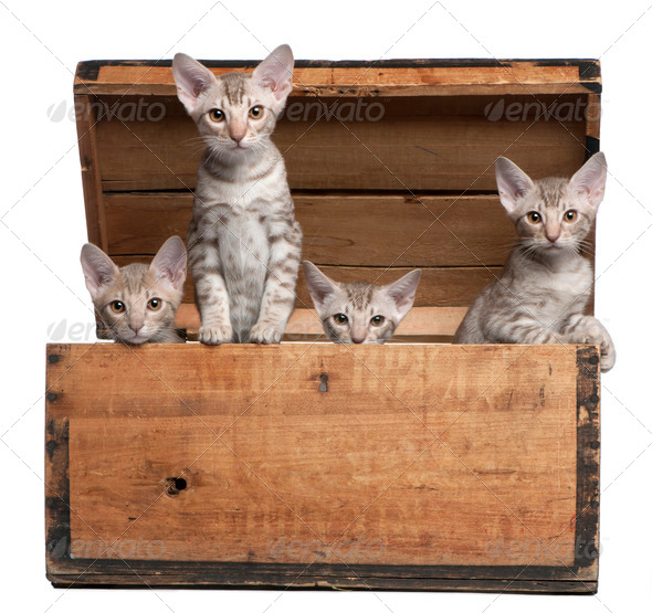 Ocicat kittens, 13 weeks old, emerging from a wooden box in front of white background - Stock Photo - Images