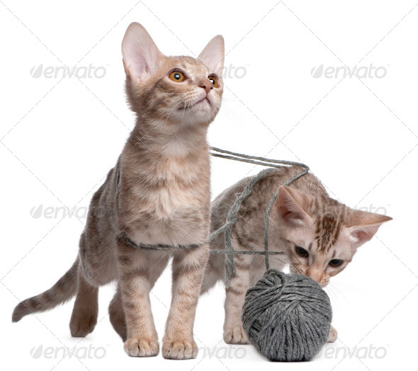 Two Ocicat Cats, 13 weeks old, playing with a ball of yarn - Stock Photo - Images