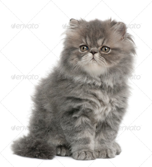 Persian kitten, 2 months old, sitting in front of white background - Stock Photo - Images