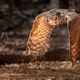 Great Horned Owl - PhotoDune Item for Sale