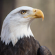 American Bald Eagle - PhotoDune Item for Sale