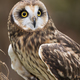Short-eared Owl - PhotoDune Item for Sale