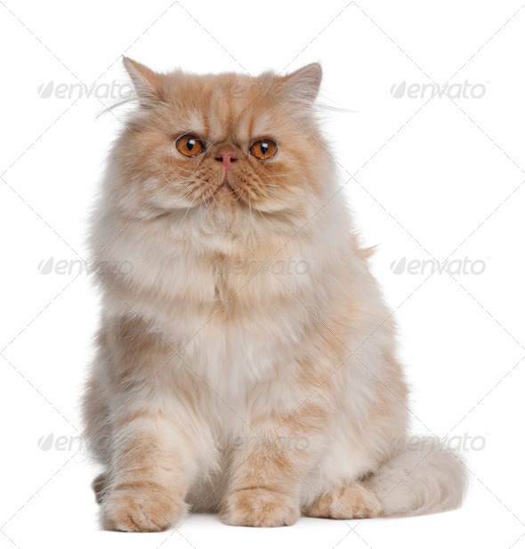 Persian Cat, 1 year old, sitting in front of white background - Stock Photo - Images