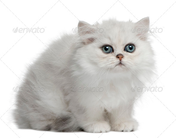 Persian cat, 3 months old, sitting in front of white background - Stock Photo - Images