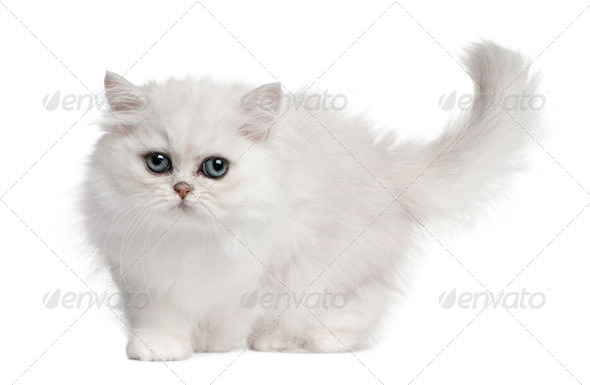 Persian cat, 3 months old, walking in front of white background - Stock Photo - Images