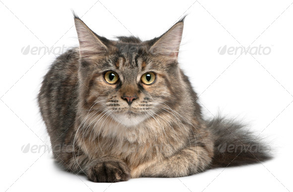 Maine Coon, 8 months old, lying in front of white background - Stock Photo - Images