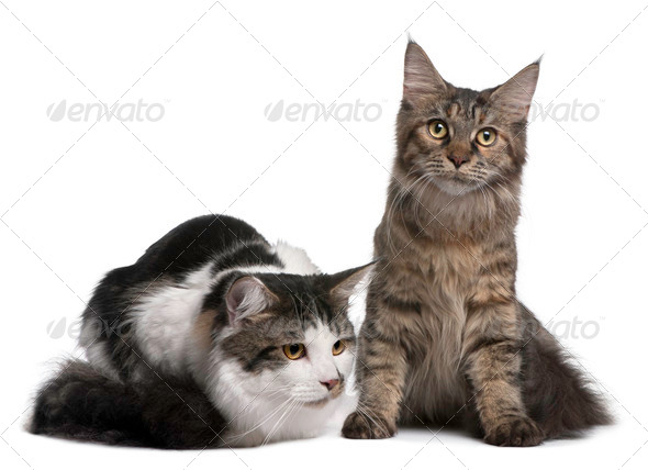 Two Maine Coon Cats, 8 and 9 months old, in front of white background - Stock Photo - Images
