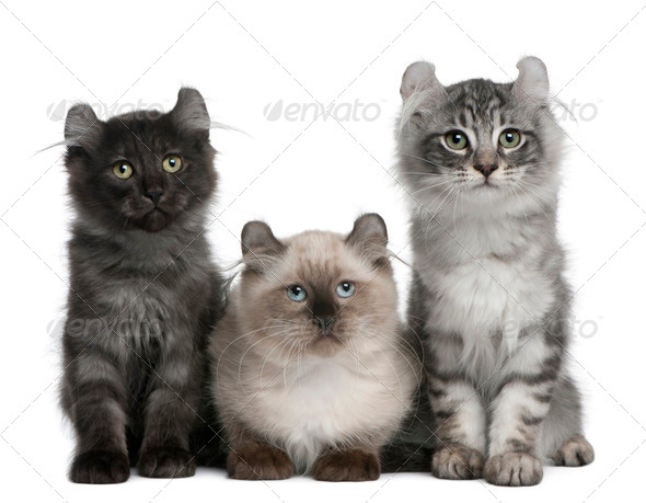 Three American Curl Kittens, 3 months old, sitting in front of white background - Stock Photo - Images