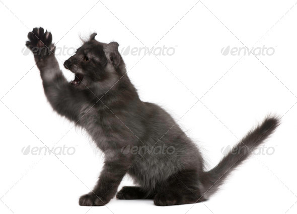 American Curl Kitten, 3 months old, with paw up in front of white background - Stock Photo - Images