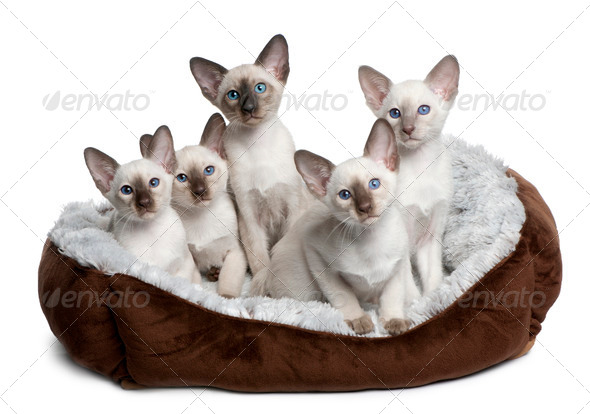 Five Siamese Kittens, 10 weeks old, sitting in cat bed in front of white background - Stock Photo - Images
