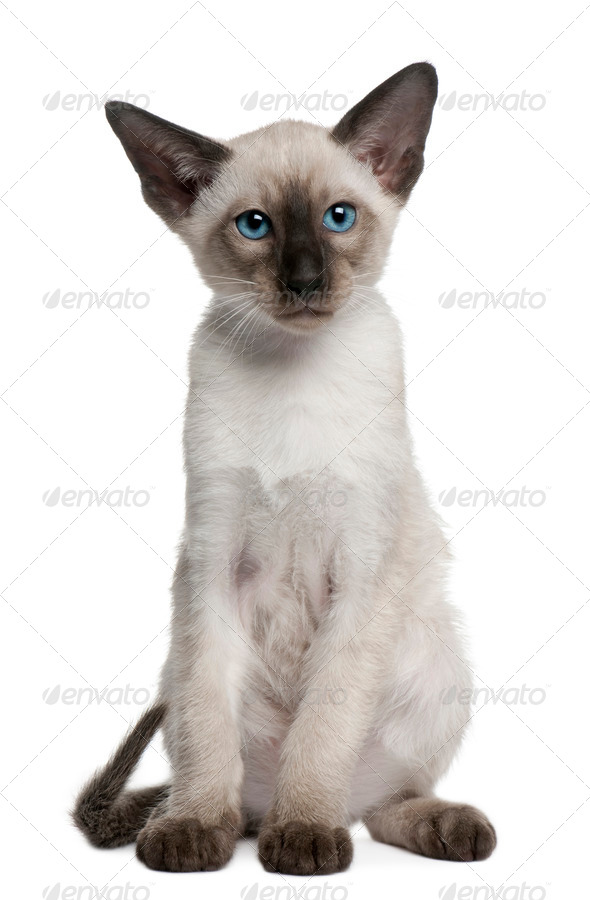 Siamese kitten, 10 weeks old, sitting in front of white background - Stock Photo - Images