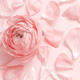 Pink ranunculus flowers and petals on a light pink background - PhotoDune Item for Sale