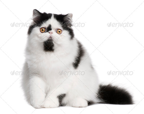 Black and white Persian cat sitting in front of white background - Stock Photo - Images