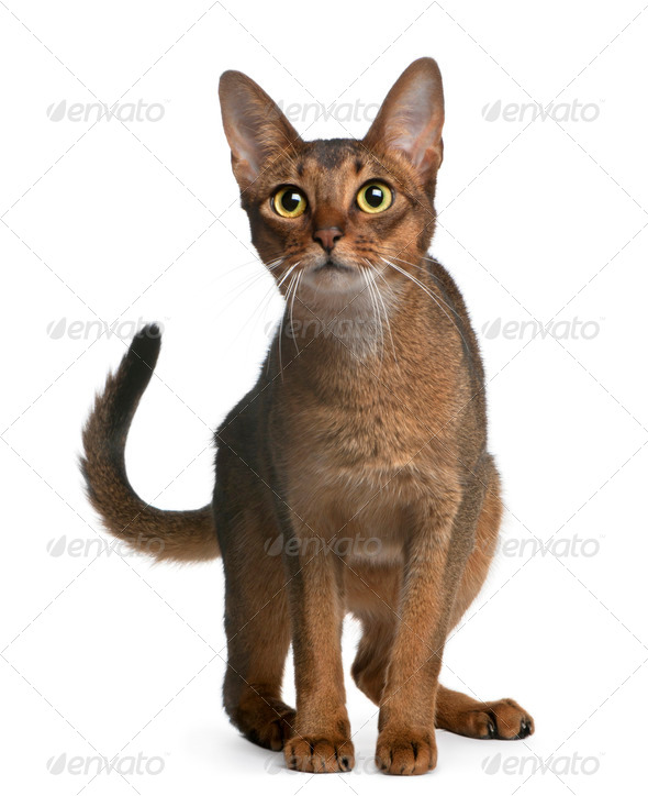 Abyssinian Cat, 14 months old, standing in front of white background - Stock Photo - Images