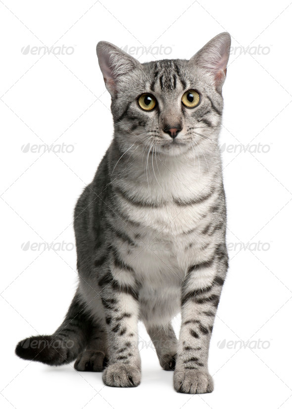 Egyptian Mau Cat, 7 months old, sitting in front of white background - Stock Photo - Images