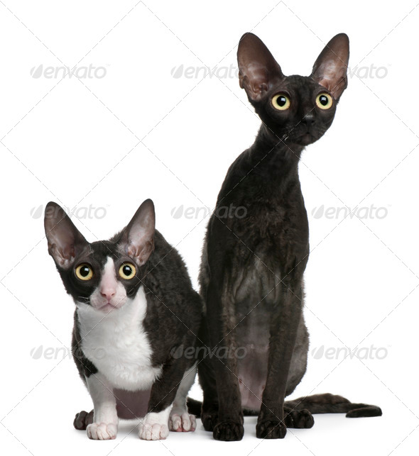 Two Cornish Rex cats, 7 months old, sitting in front of white background - Stock Photo - Images