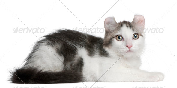 American Curl Kitten, 13 weeks old, lying in front of white background - Stock Photo - Images