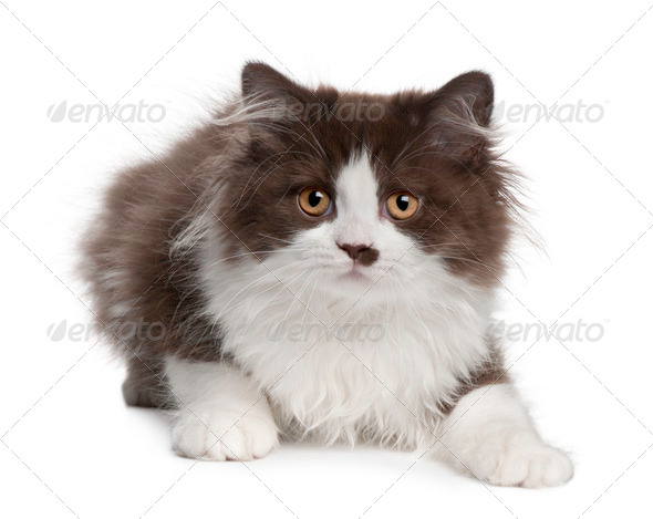 British Longhair kitten, 3 months old, lying in front of white background - Stock Photo - Images