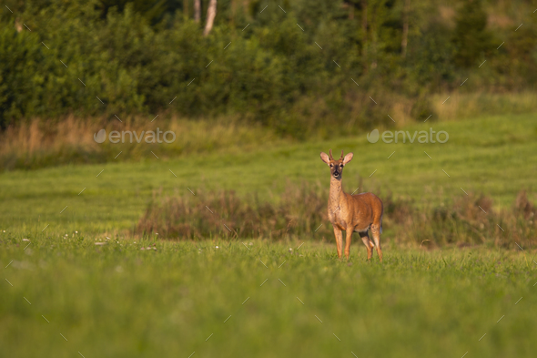 Young white-tailed deer standing on green meadow at sunrise and looking - Stock Photo - Images