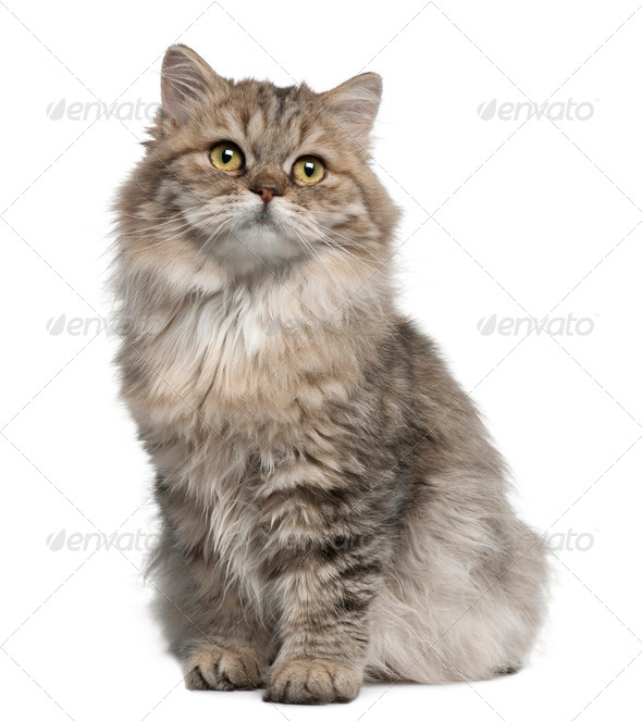 British Longhair kitten, 3 months old, sitting in front of white background - Stock Photo - Images