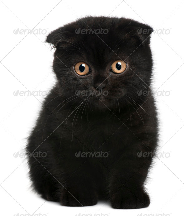 Scottish Fold Kitten, 11 weeks old, sitting in front of white background - Stock Photo - Images