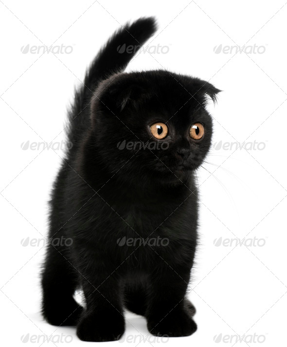 Scottish Fold Kitten, 11 weeks old, standing in front of white background - Stock Photo - Images