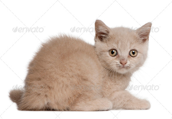 British Shorthair Kitten, 10 weeks old, sitting in front of white background - Stock Photo - Images