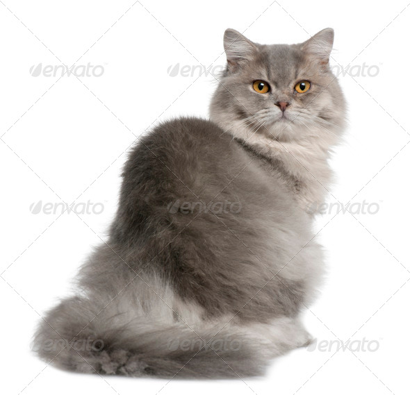 British Longhair Cat, 1 year old, sitting in front of white background - Stock Photo - Images